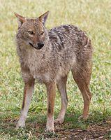 Canis aureus - golden jackal.jpg