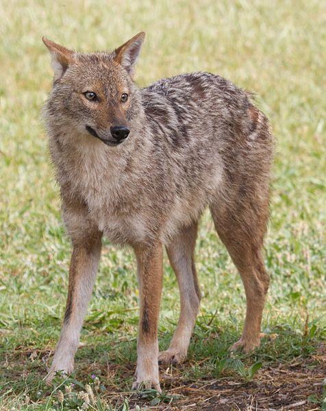 File:Canis aureus - golden jackal.jpg