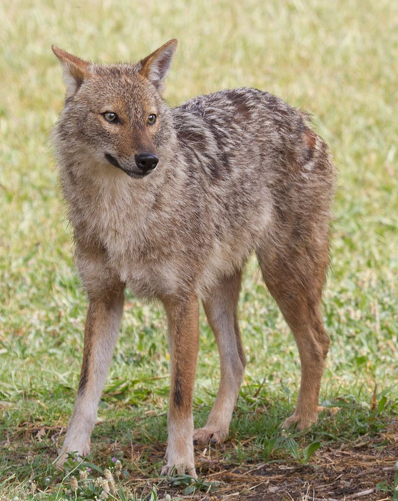https://upload.wikimedia.org/wikipedia/commons/thumb/8/82/Canis_aureus_-_golden_jackal.jpg/800px-Canis_aureus_-_golden_jackal.jpg