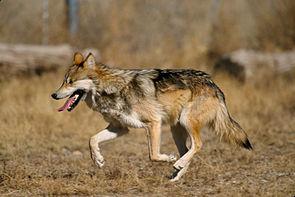 Mexikanischer Wolf (Canis lupus baileyi)