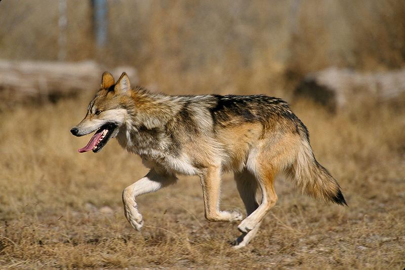 File:Canis lupus baileyi running.jpg