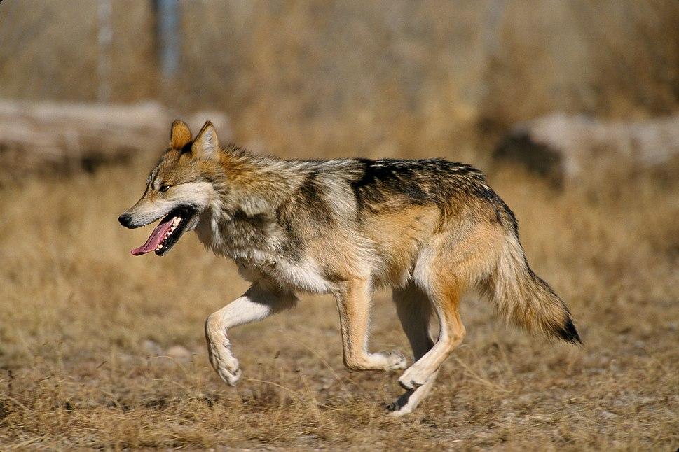 Canis lupus baileyi running