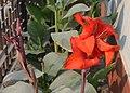 Canna indica Flower.jpg