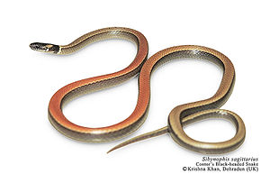 Description de l'image Cantor's black-headed snake Sibynophis sagittarius by Ashahar alias Krishna Khan.jpg.