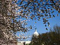 Capitol and Blossoms (3379135136).jpg