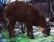 Capricornis swinhoei eating in Mount Gozaisho zoo 1997-04-20.jpg