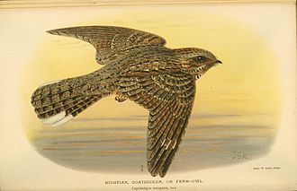 "European nightjar - A nineteenth-century lithograph of a painting by J.G. Keulemans. It is captioned ""Nightjar, goatsucker, or fern-owl"", alternative old names for the European nightjar"