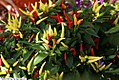 Capsicum annuum Chilly Chili 2zz.jpg