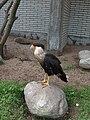 Caracara cheriway -Antwerp Zoo-8a.jpg