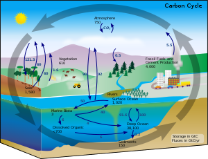 This carbon cycle diagram shows the storage an...