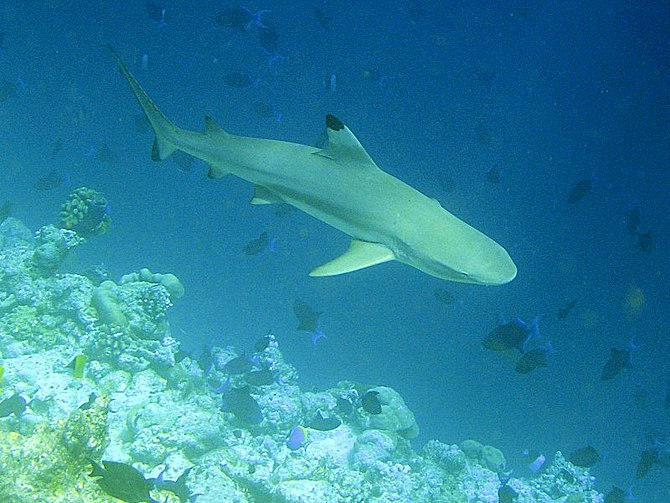 Adult blacktip reef sharks are often found pat...