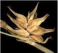 Carex echinata inflorescens (32).jpg