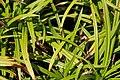 Carex grayi 2zz.jpg