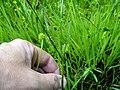 Carex hirta inflorescens (11).jpg