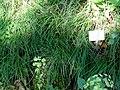 Carex montana - Botanical Garden, University of Frankfurt - DSC02554.JPG