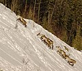 Caribou climb (6764021885).jpg