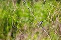 Carolina chickadee (26980267383).jpg