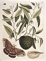 Carolina moth with fruit resembling custard apple, 1731 Wellcome L0035350.jpg