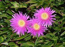 Carpobrotus April 2013-1.jpg
