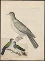 Carpophaga perspicillata - 1700-1880 - Print - Iconographia Zoologica - Special Collections University of Amsterdam - UBA01 IZ15600097.tif