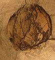 Castellinia subrotunda.jpg