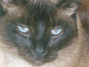 Photo of a siamese cat