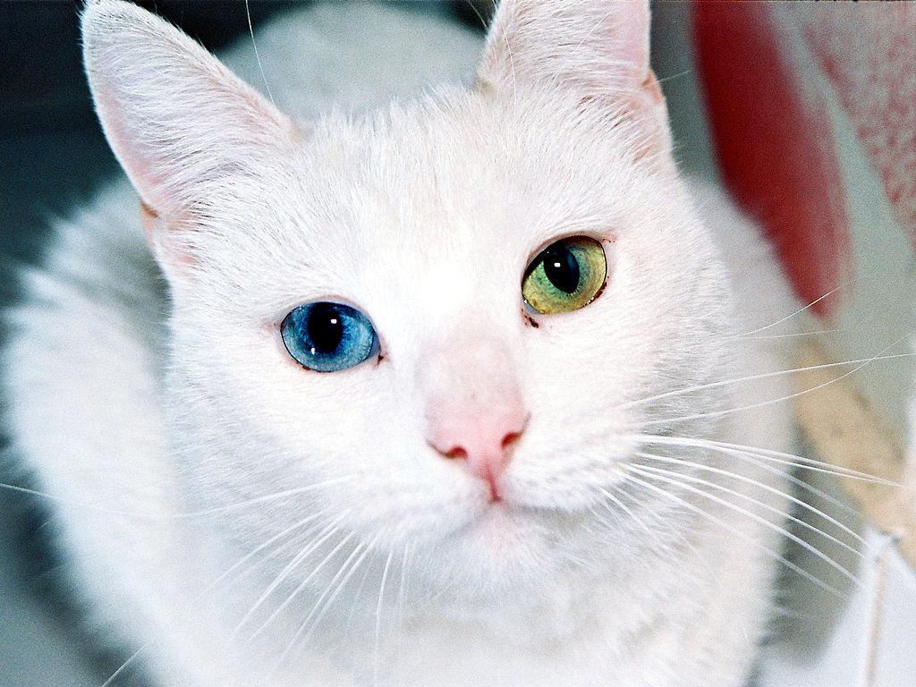 Gato angora turco con heterocromía