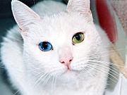 Gata com heterocromia: tem um olho de cada cor