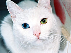 A white cat with one blue and one yellow eye