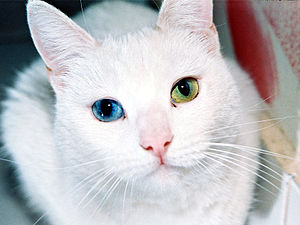 English: Heterochromia: Female cat with eyes o...