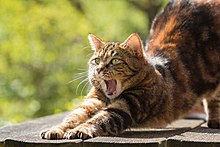 Cat behavior - Wikipedia