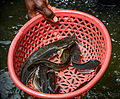 Catfish from a fishpond in Mbazzi, Mpigi district, Uganda 01.jpg