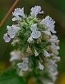 Catnip (Nepeta cataria) - Flickr - wackybadger (3).jpg