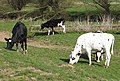 Cattle grazing by Back Brook - geograph.org.uk - 1219299.jpg