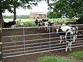 Cattle in field - geograph.org.uk - 473237.jpg