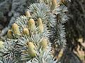 Cedar pollen cones (detail) (14877742312).jpg