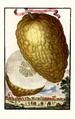 Cedro ordinario Volkamer 1708 116a.png