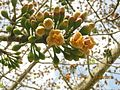 Ceiba pentandra - flor (7554287938).jpg