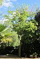 Ceiba pubiflora 1 - Jardin Botanico Malaga.jpg