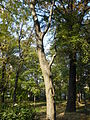 Celtis australis (2).JPG
