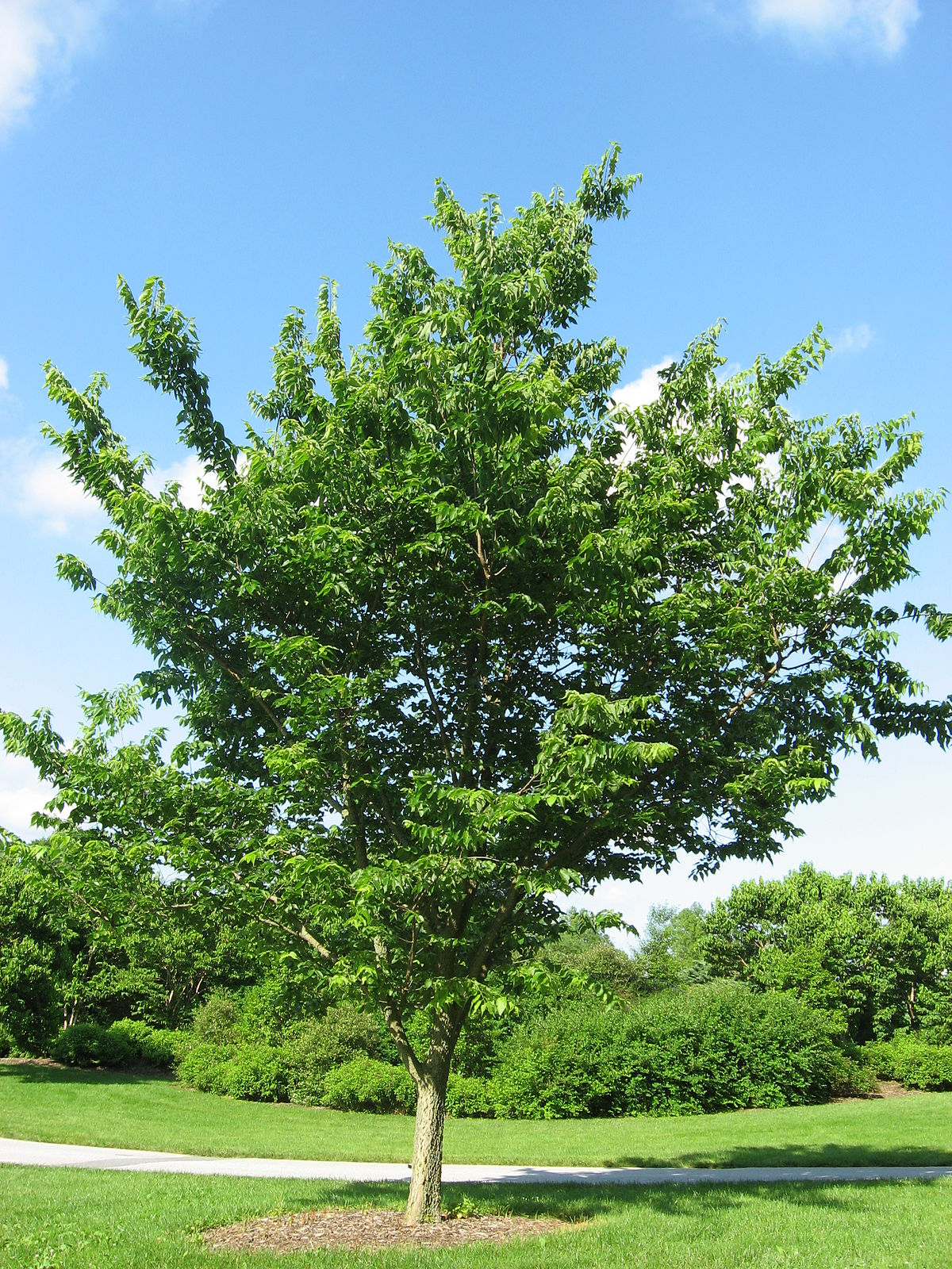 Common Trees In Rhode Island