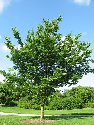 Celtis occidentalis - Image: Celtis occidentalis 20090606