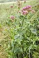 Centranthus ruber velennes 80 10062008 4.jpg