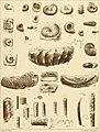 Cephalopoden der böhmischen Kreideformation (1872) (14780024742).jpg