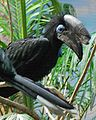 Ceratogymna atrata -Cincinnati Zoo -male-4a.jpg