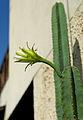 Cereus hexagonus.jpg