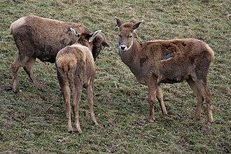 Thorold's deer - Female Thorold's deer
