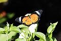 Cethosia cyane - Leopard Lacewing 01.jpg