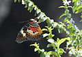 Cethosia cyane - Leopard Lacewing 03.jpg