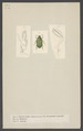 Cetonia - Print - Iconographia Zoologica - Special Collections University of Amsterdam - UBAINV0274 001 06 0043.tif